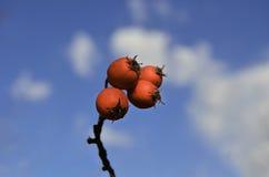 Красные ягоды боярышника стоковое изображение