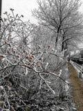 Красные ягоды в замороженном белом кусте Стоковые Изображения