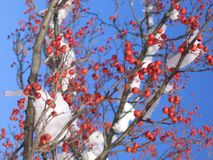 Красные ягоды в снежке Стоковое фото RF