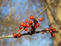 Красные ягоды зимы на хворостине, Possumhaw Стоковое Фото