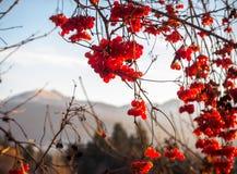 Красные ягоды зимы Стоковые Изображения