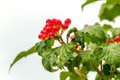 Красные ягоды калины зреют на ветви Стоковое Фото