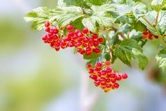 Красные ягоды калины зреют на ветви Стоковая Фотография RF