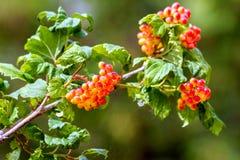 Красные ягоды калины зреют на ветви Стоковые Изображения RF