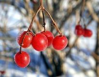 Красные ягоды калины, который замерли на крупном плане ветви Стоковые Фотографии RF