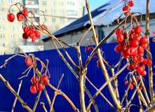 Красные ягоды калины, который замерли на крупном плане ветви Стоковые Фото