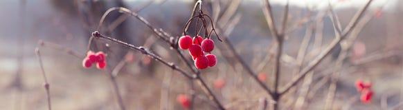 Красные ягоды калины с белой изморозью - панорамой осени Стоковые Изображения