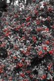 Красные ягоды на дереве в белизне black& Стоковое Изображение RF