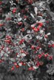Красные ягоды на дереве в белизне 2 black& Стоковые Изображения
