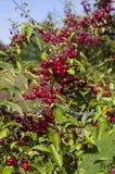 Красные ягоды осенью Стоковое Изображение