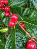 Красные ягоды после дождя Стоковые Изображения RF