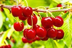 Красные ягоды сладостной вишни на конце ветви вверх Стоковое фото RF