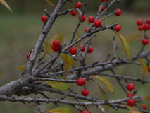 Красные ягоды с капельками воды Стоковая Фотография