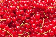 Красные ягоды Стоковое фото RF