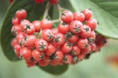 Красные ягоды Стоковое Фото