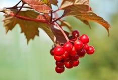 Красные ягоды Стоковое Изображение
