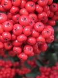Красные ягоды Стоковая Фотография