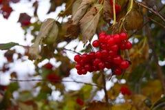 Красные ягоды Viburnum в осени Стоковое Изображение RF