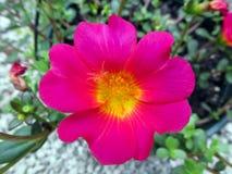 Красные яркие цветки в саде на зиме или весеннем дне стоковая фотография rf