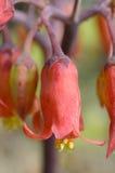 Красные bluebells Стоковые Фото