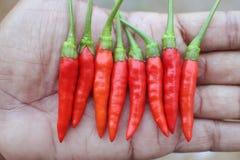 Красные chilies в руке Стоковое Фото