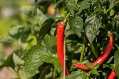 Красные chilis растя на поле Стоковое Изображение RF