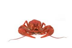 Красные crawfish Стоковое Фото
