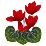 Красные cyclamens Стоковая Фотография RF