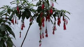 Красные Fuchsia цветки двигая нежно в ветерок сток-видео