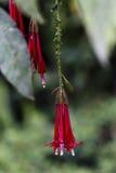 Красные Fuchsia цветки с зелеными листьями Перу Стоковые Фото