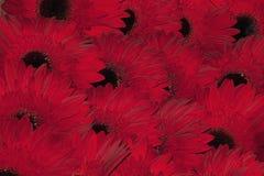 Красные gerbers Стоковое Изображение
