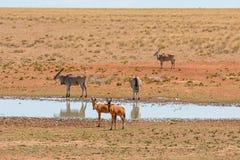 Красные Hartebeest и Eland Стоковые Изображения RF
