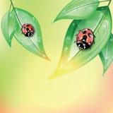Красные ladybugs на зеленых листьях после дождя Стоковая Фотография