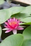 Красные lotos Стоковые Изображения