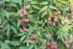 красные lychees и зеленые губы Стоковые Изображения RF
