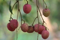красные lychees очень сладостны Стоковые Фотографии RF
