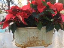 Красные Poinsettias в винтажном плантаторе Geen Стоковые Изображения RF