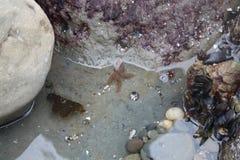 красные starfish Стоковые Изображения