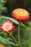 Красные strawflowers Стоковая Фотография