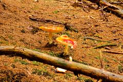красные toadstools 2 Стоковое Изображение
