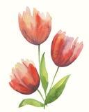Красные tulps Стоковое фото RF