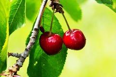 Красные yummy вишни на дереве конец вверх Стоковое Фото
