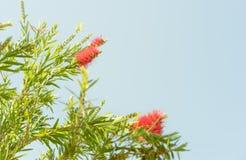 Красный австралийский bottlebrush Callistemon wildflower Стоковая Фотография RF