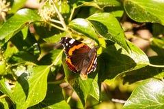 Красный адмирал бабочка в плюще стоковые изображения