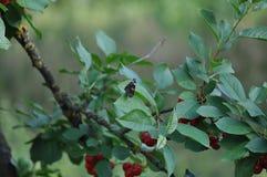 Красный адмирал бабочка на лист вишни Стоковые Фотографии RF