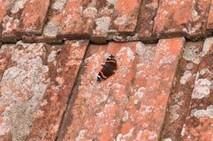 Красный адмирал бабочка Стоковые Изображения RF