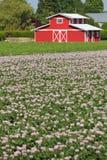 Красный амбар, поле картошки Стоковое Изображение RF