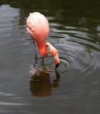 Красный американский фламинго. Стоковые Изображения