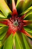 Красный ананас Стоковое Изображение