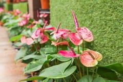 Красный антуриум в саде Стоковая Фотография RF